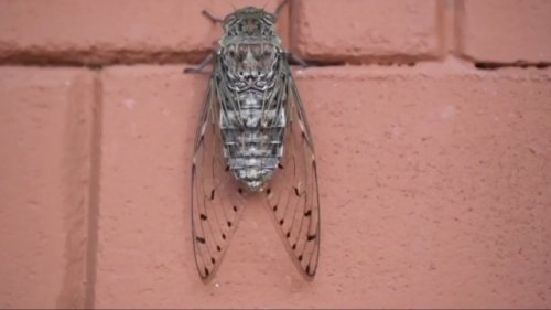 WCPO: Cicadas May Pose Problems For People With Sensory Issues