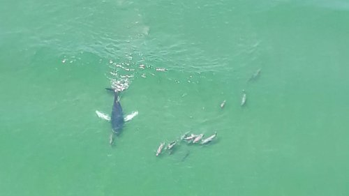 Humpback whale swims with dolphins just off Jersey Shore beach in amazing photo captured by banner plane pilot