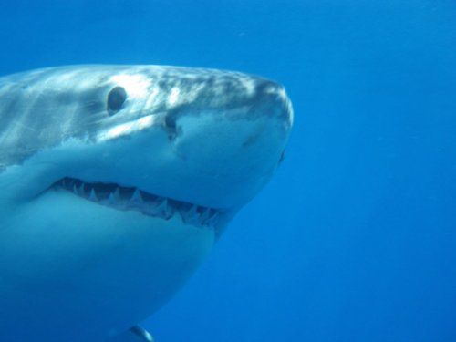 Great white shark Andromache makes pass off Jersey Shore