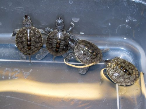 800 baby turtles rescued from storm drains in 3 Jersey Shore towns