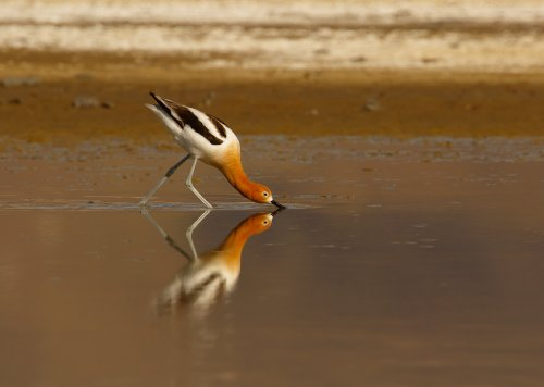 Avocets and Archaeology in Lake County