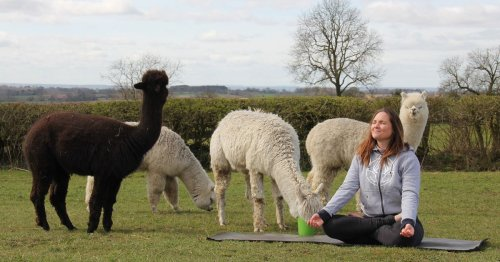 Yoga with alpacas in a Derbyshire field? Yes, it really is a thing