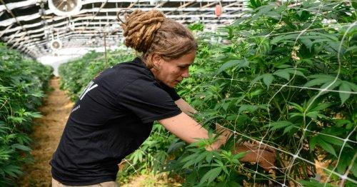 La Suisse est devenue le premier producteur de « chanvre bien-être » du continent