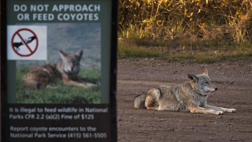 Search For Coyote Continues After Several Attacks In The San Francisco Bay Area