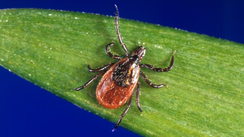 Lyme Disease-Carrying Ticks Are Turning Up On California's Beaches