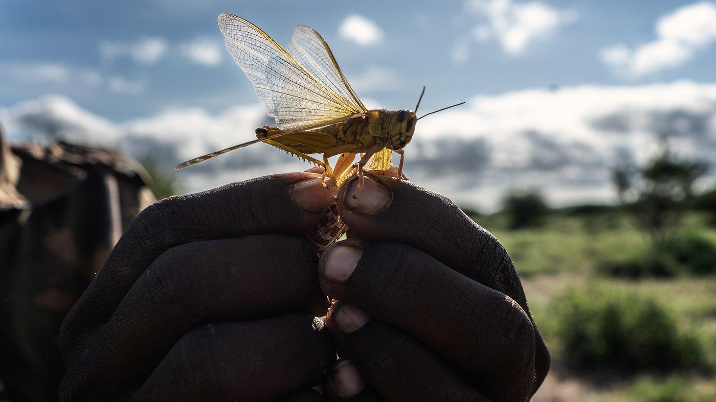 Locust Swarms Threaten Parts Of East Africa