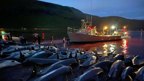 1,428 Dolphins Were Slaughtered As Part Of A Tradition. Activists Say It's Cruel