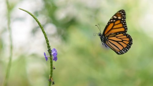 What Happened To The Butterflies? Climate, Deforestation Threaten Monarch Migration