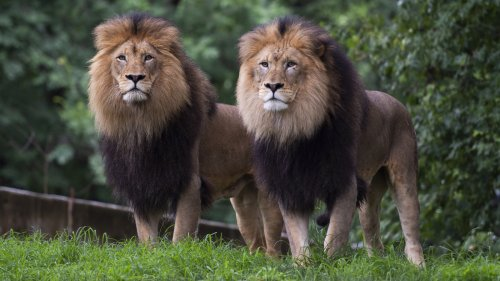 9 Lions And Tigers At The National Zoo Are Being Treated For COVID