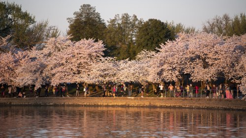 What The Cherry Blossom Bloom Can Tell Us About Climate Change