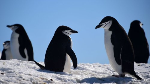 The Evolutionary History Of Penguins Is Far From Black And White