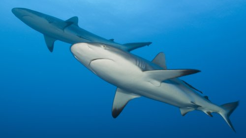 A Coronavirus Vaccine Could Kill Half A Million Sharks, Conservationists Warn