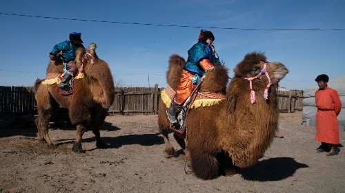 Where Camels Become Beauty Queens: Inside Mongolia's Biggest Camel Festival