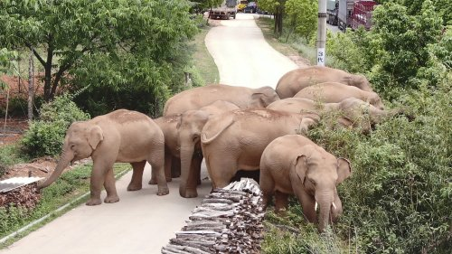 China's Wandering Elephants Are On The Move Again. Are They Headed Home?