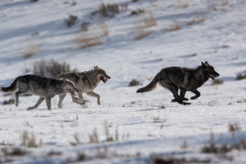 USFWS Agrees: Threats to N. Rockies Wolves Deserve Attention