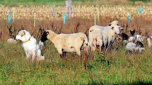 Reaktion auf Urteil zum Wolf: Klare Regeln für Herdenschutz