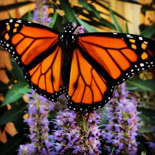 National Wildlife Federation: Six Ways to Save Monarchs