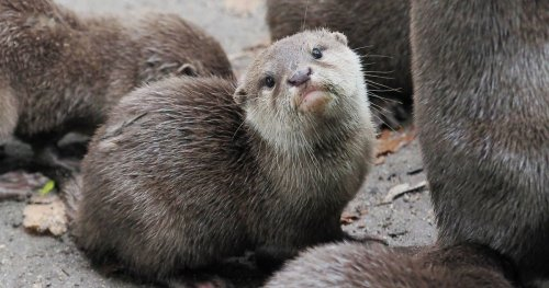 Apparently Otters Can Get COVID