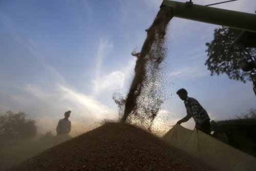 New zinc-fortified wheat set for global expansion to combat malnutrition