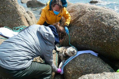 Rescuers unable to save seal that spent 2 years caught in net