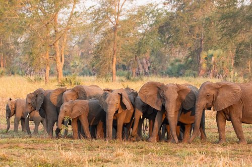 Elephants have evolved to be tuskless due to poaching: study