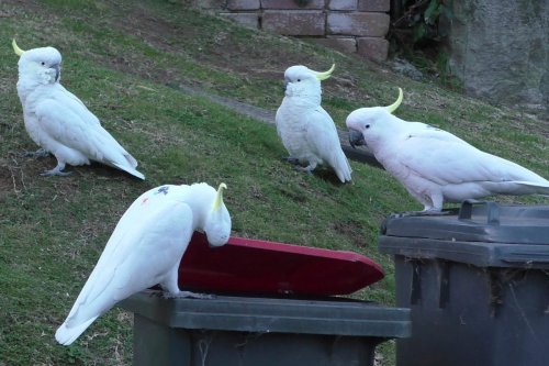 Crafty cockatoos master dumpster diving and teach each other