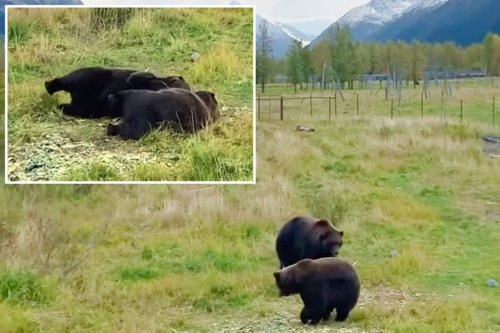 Bear siblings practice 'synchronized napping' in adorable video
