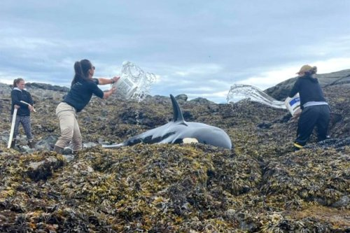 Good Samaritans pour water on beached killer whale until it can free itself