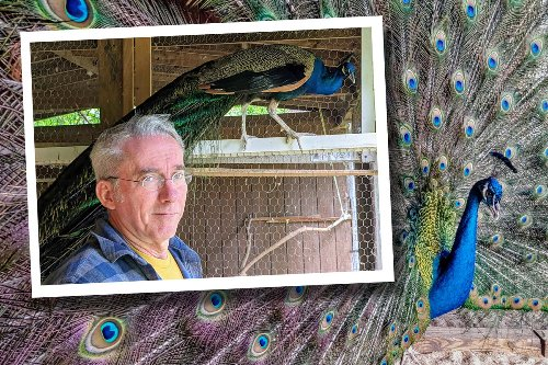Peculiar pets: How one man learned that six peacocks are better than one
