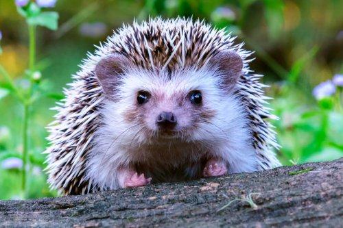 New Zealand trying to eradicate hedgehog 'killing machines'