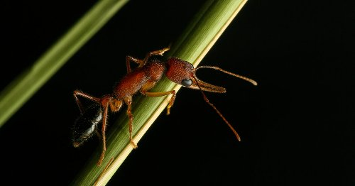 These Ants Shrink Their Brains for a Chance to Become Queen