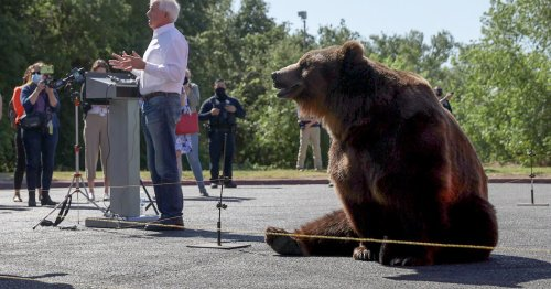 For Bears, California Recalls Are the Perfect Circus