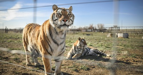 After 'Tiger King,' Law Proposed to Protect Big Cats