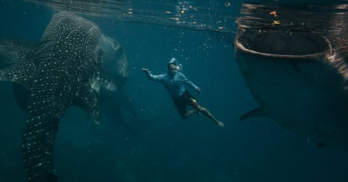 Please Don't Feed the Whale Sharks? Fishing Town Says It Must, to Prosper.