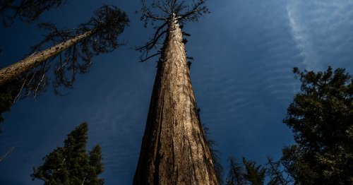 Sequoias Are Being Wrapped in Foil Blankets to Protect Against Wildfires