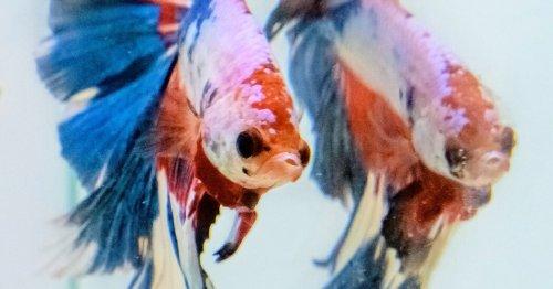 The 1,000-Year Secret That Made Betta Fish Beautiful
