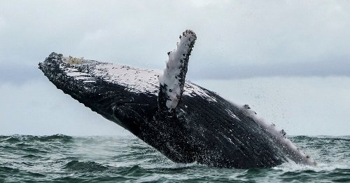 Humpback Whale Nearly Eats a Lobsterman, Then Thinks Better of It