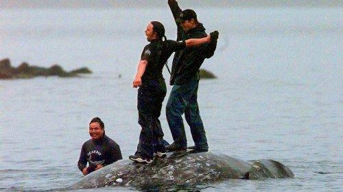 Native American tribe wins major step toward resuming whaling off Washington - NZ Herald