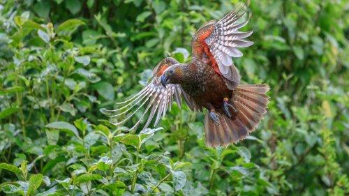 Native bird numbers soaring in Wellington - NZ Herald