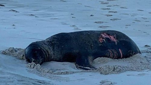 Sea lion recovering after apparent great white shark attack in Dunedin - NZ Herald