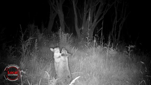 Local Focus: The war on wallabies using GPS, drones and dogs - NZ Herald