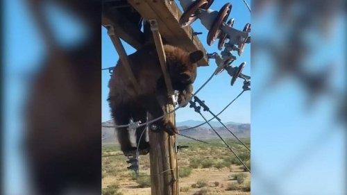Bear found stuck on power pole in Arizona - NZ Herald