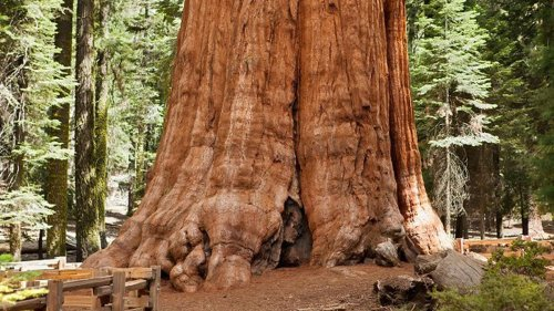 Desperate move to save world's largest tree in California - NZ Herald