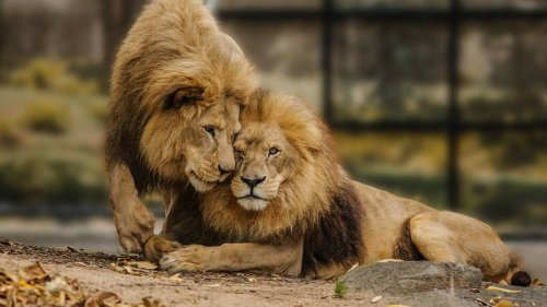 Losing lions, elephants won't diminish appeal - Auckland Zoo - NZ Herald