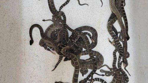 Snake den found under Northern California home - NZ Herald