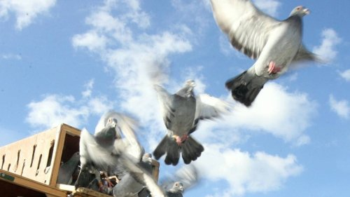 Pigeon breeders appeal for help as 10,000 birds disappear during race - NZ Herald