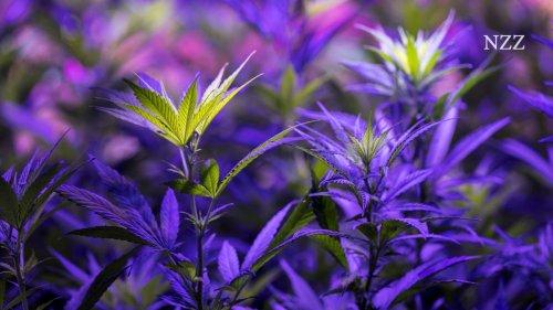Weshalb man sich vor einer Legalisierung von Cannabis nicht fürchten muss