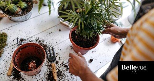Zimmerpflanzen umtopfen: Alles, was Sie dazu wissen müssen