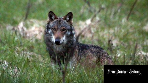 Die Offensive Wolf: Das «Abschussgesetz» ist zurück
