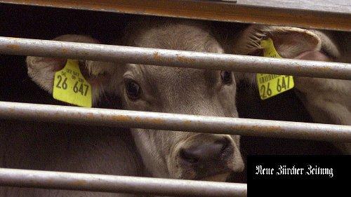 Exporte von Nutztieren: eine umstrittene Praxis, die in den vergangenen Jahren weltweit zugenommen hat
